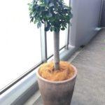 パンダガジュマルを素敵な植木鉢に植え替えてみた!