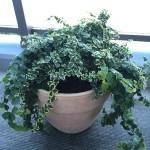 大きくなったフィカス・プミラをイタリアンテラコッタ鉢に植えてみた